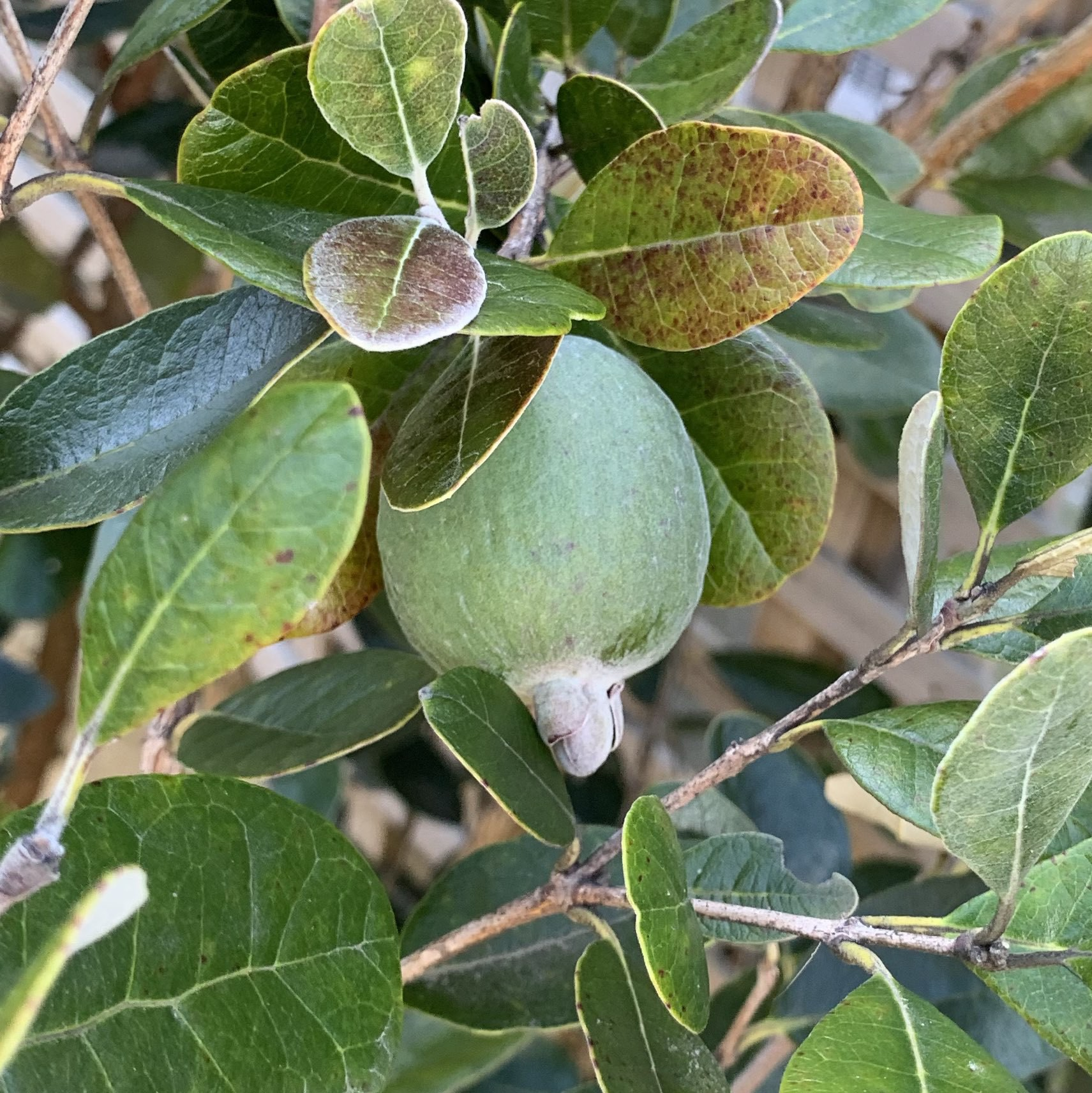 A feijoa, or pineapple guava, on the tree.