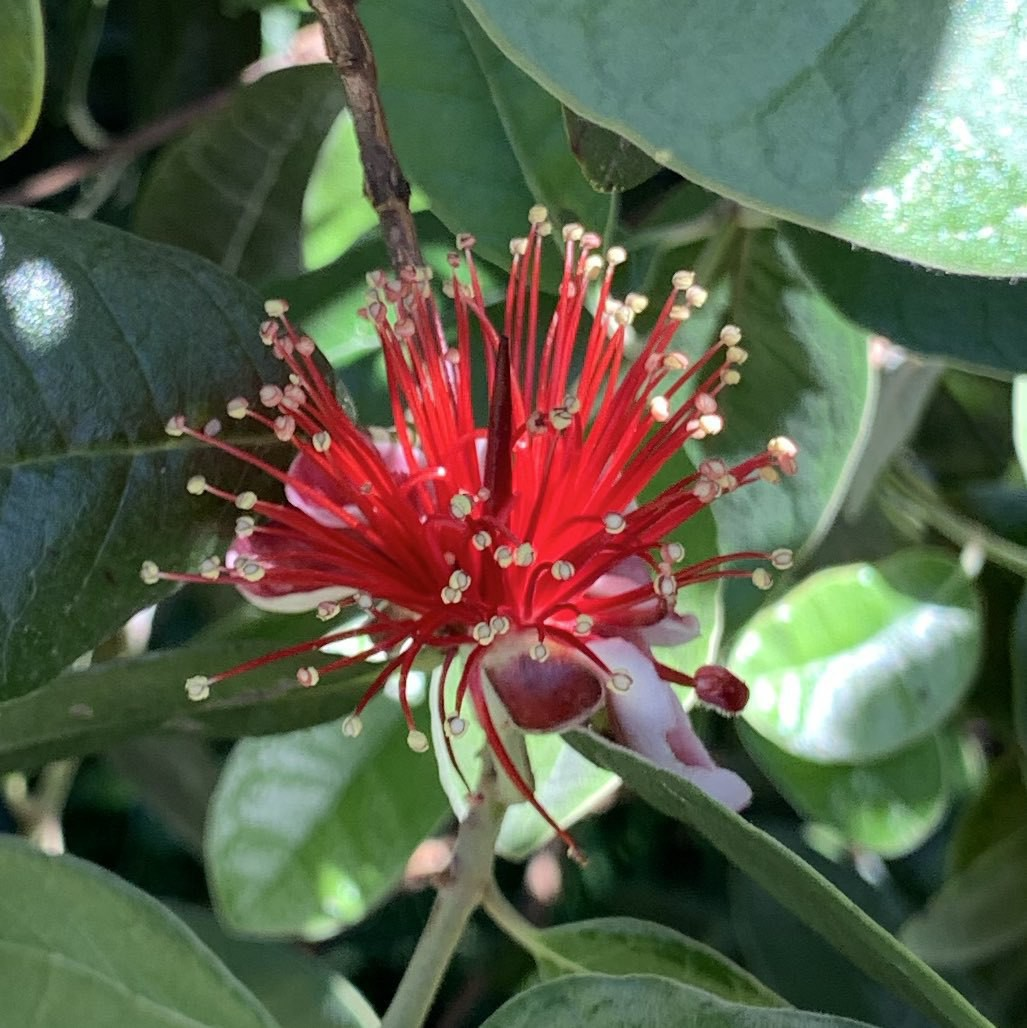 A feijoa flower - red and spindled like other mertles