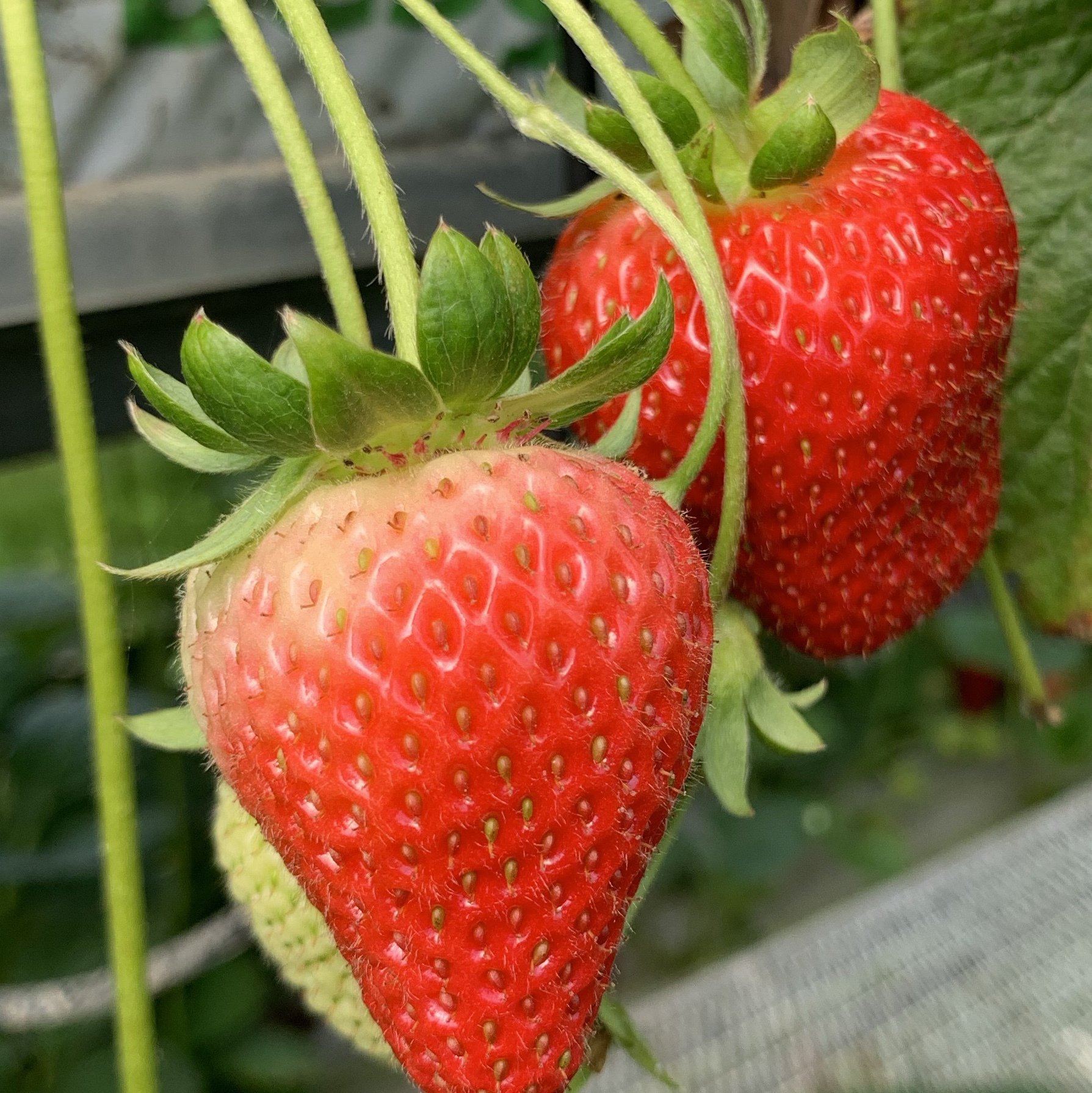 Strawberries on the plant at the pick-your-own farm