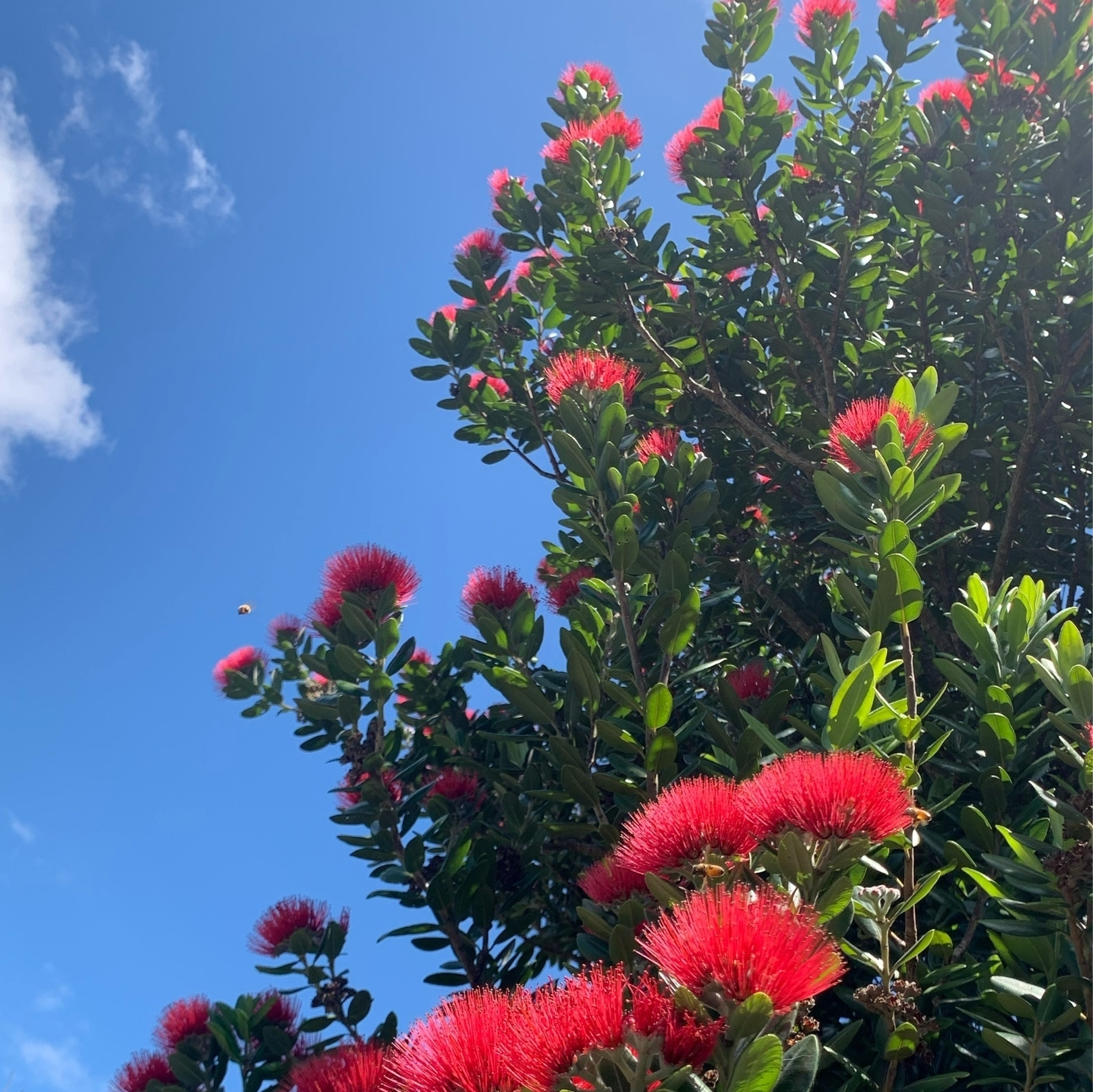 Blue sky in the background, red and green pohutukawa in the foreground