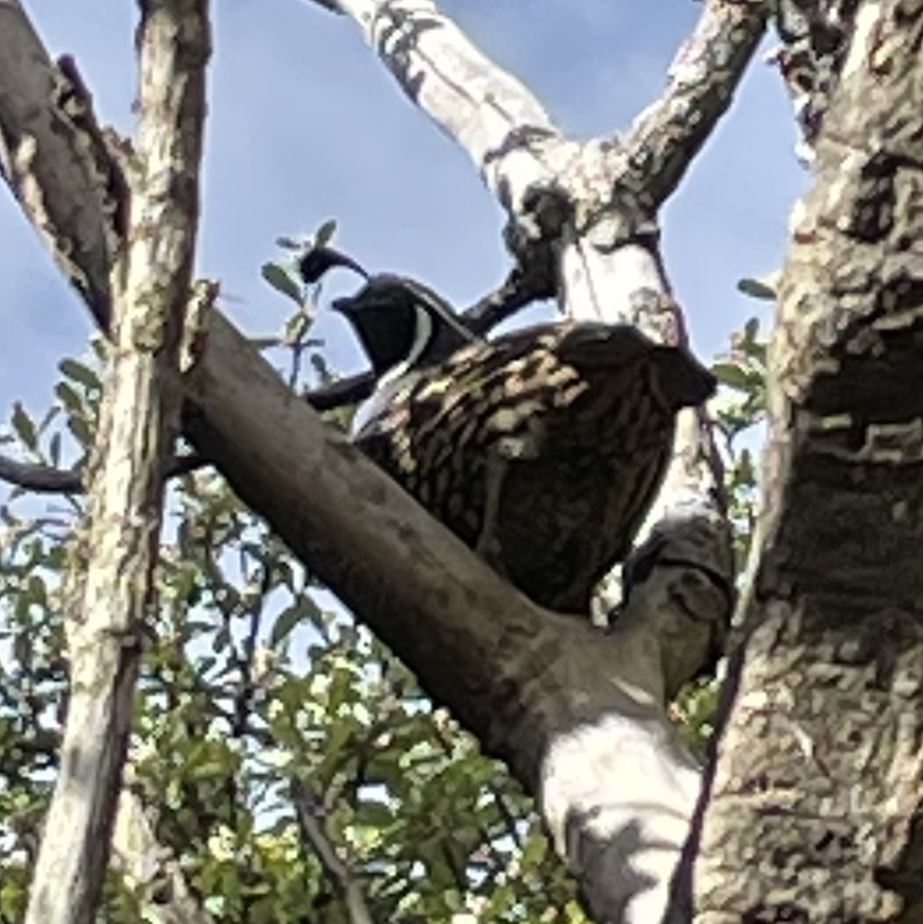 A California quail sitting in a tree, with its head in profile showing its distinctive head feather which hangs over the birds face like a fish rod and lure