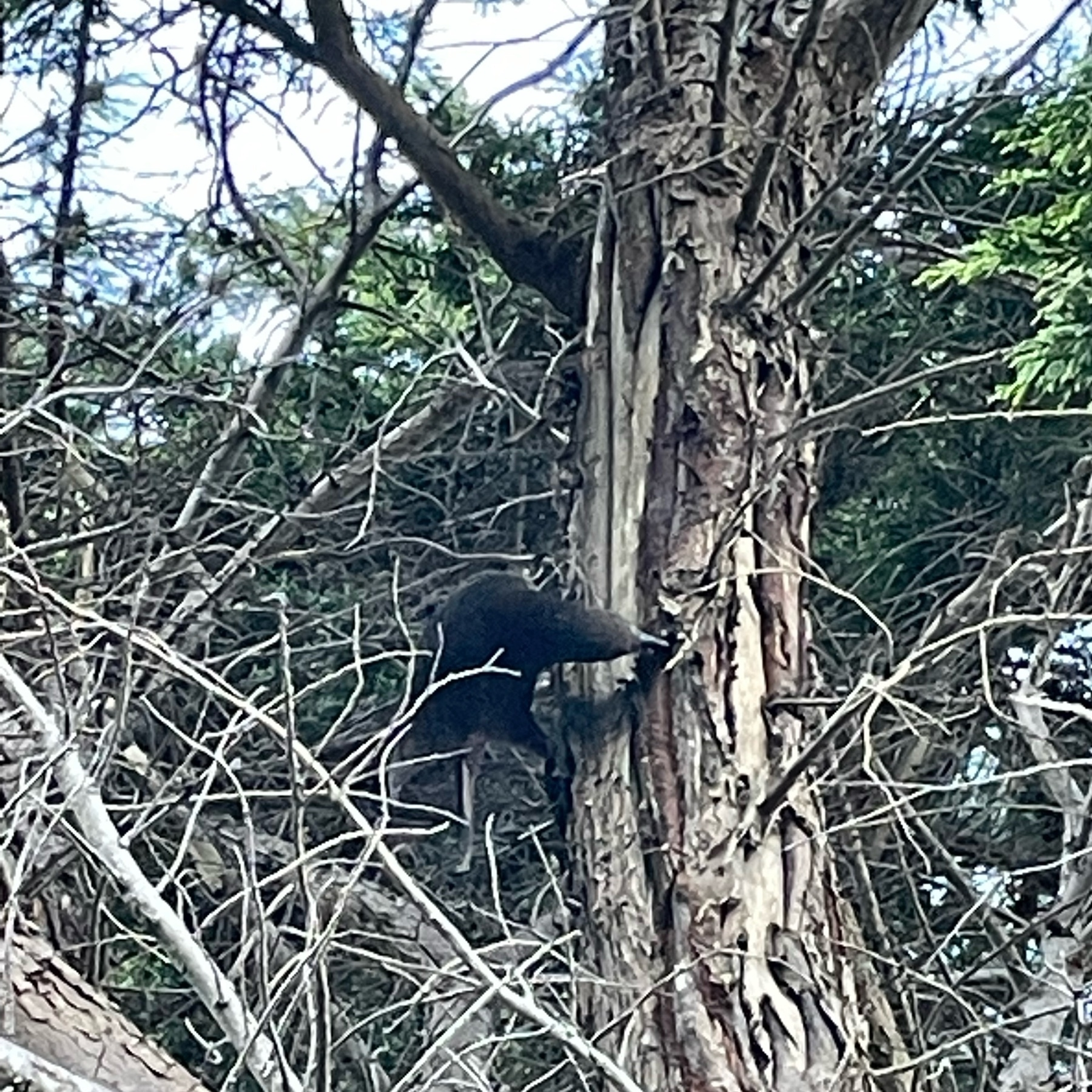 A kaka, a large parrot around half a metre in length and half a kg in weight. Ripping sections of bark off a kowhai tree with it's large beak, possibly to et the tree sap.